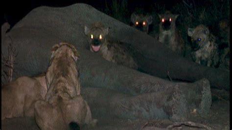eternal enemies lions  hyenas trailer