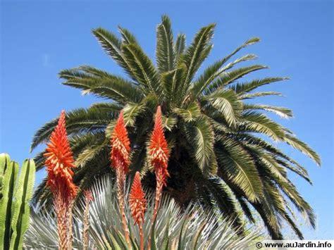 cuisiner du palmier dattier des canaries palmier de hyères