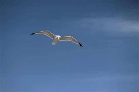 gabbiano azzuro gabbiano nel cielo azzurro juzaphoto