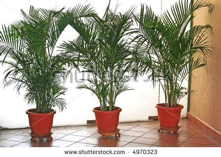 potted palms en masse patio