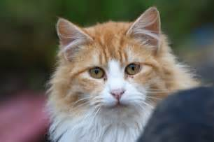 orange cat breeds fluffy cat breeds cats types