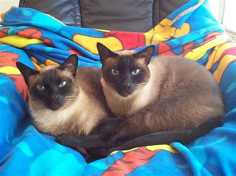 bred si鑒e social siamese cat pixshark com images galleries with a bite