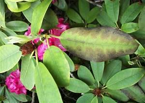 Braune Blätter Am Rhododendron : rhododendron park wachwitz 85 krankheiten pilzbefall ~ Lizthompson.info Haus und Dekorationen