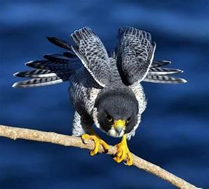 All About Animal Wildlife: Peregrine Falcon Wildlife ...  Falcon