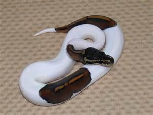 Super Black Pastel Pied Ball Python