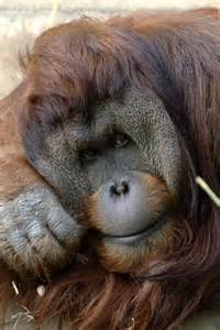 Orangutan Zoo Animals