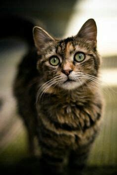 Pretty Light Brown Tabby Cat