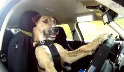 le premier chien qui conduit une voiture