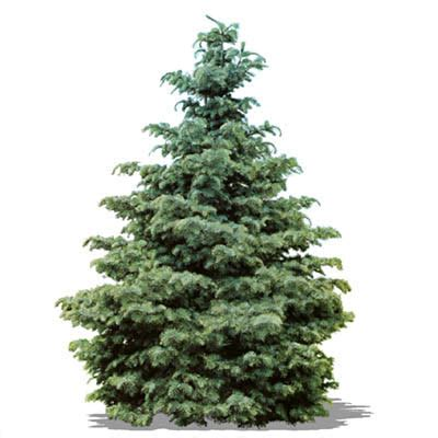 live christmas tree at home depot shop all types of real trees the home depot