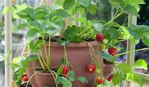 Faire Pousser Des Fraises : comment faire pousser des fraises bio toute l 39 ann e l 39 int rieur sant nutrition ~ Melissatoandfro.com Idées de Décoration