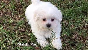Gorgeous white Malshi or Maltese Shih Tzu pup for sale in ...