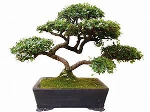 Pflege Von Bonsai Bäumchen : 7 einfache tipps f r den kauf und die pflege eines bonsai ~ Sanjose-hotels-ca.com Haus und Dekorationen