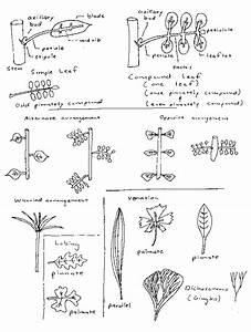 Vegetative Morphology Definitions