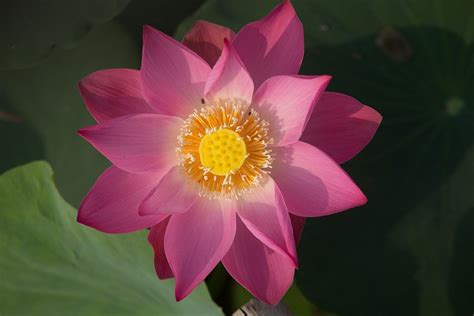 Lotus Flower Meaning and Symbolism - 7 Chakra Store