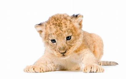 Lion Cub Animal Cubs Wallpapers Background Young