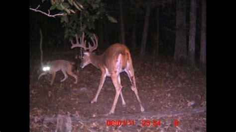whitetail deer  coyote standoff trail cam youtube