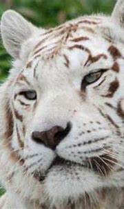 √ 17 Interesting Facts about White Tiger [All about White ...