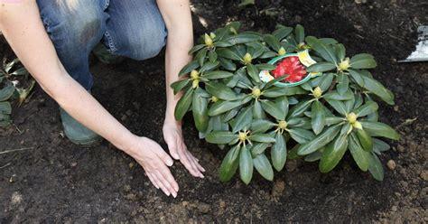 Garten Pflanzen Umsetzen by Rhododendron Richtig Pflanzen Mein Sch 246 Ner Garten