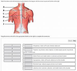 Solved  Match The Letters At The Left Indicating Muscles L