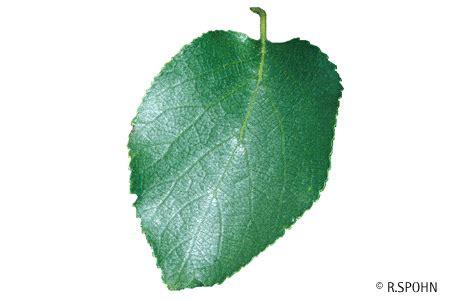 STIHL  Baumlexikon  Italienische Erle