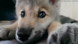 Wolf Pup Hiccups! - YouTube  Cutest
