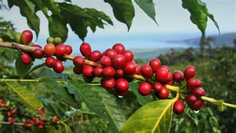 Discover Coffee Fruit, Nature's Wasted Superfood  Mocha Coffee Calories Coconut Oil Turmeric Caribou Menu Sweets Custom Mug Uk Franchise Unsalted Butter And In Tripadvisor Photo