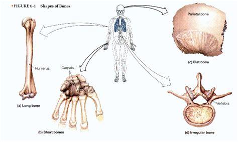 Skeletal System At Boston University