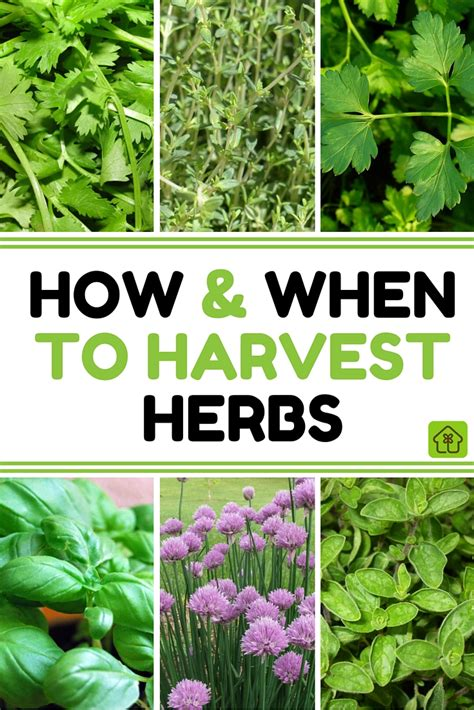 how to harvest herbs summer may be drawing to a close but dont despair the end of the summer growing season means