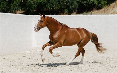 horse lusitano thoroughbred chestnut andalusian stallion bing horses binged mare equine