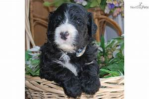 Shepadoodle puppy for sale near Cornwall, Ontario ...