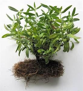 Comment Tailler Les Orchidées Pour Qu Elles Refleurissent : pourquoi et comment tailler les racines d 39 un bonsa ~ Melissatoandfro.com Idées de Décoration