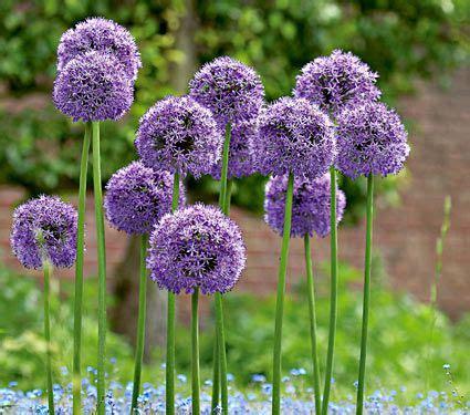 what are alliums allium gladiator white flower farm