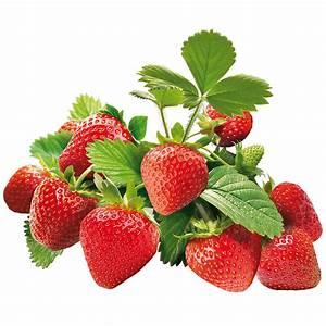 Plant De Fraise : algoflash fraisier l plantation entretien et astuces ~ Premium-room.com Idées de Décoration