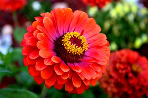 pics of zinnias z is for zinnia arl s world