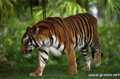 chambre d hote à carte tigre jungle thème animaux