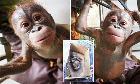 gito  baby orangutan healthy  happy