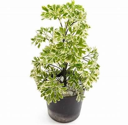 Plants Indoor Tall Aralia Polyscias Variegated Plant