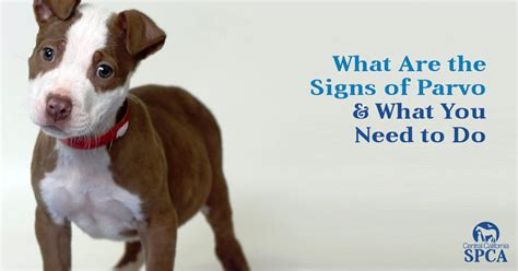 parvo in dogs what are the signs of parvo what you need to do