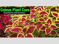 Coleus Plant Care [HOW TO] Care and Use Colorful Coleus