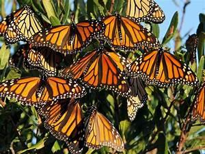 As Dwindling Monarch Butterflies Make Their Migration