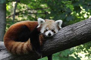 Sleepy Red Panda by Judy Whitton