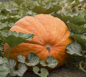 Want, To, Grow, A, Truly, Giant, Pumpkin, Here, U0026, 39, S, How