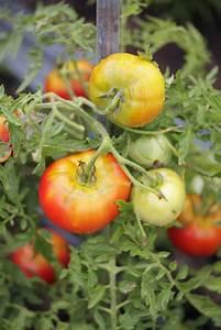 Tomaten Regenschutz Selber Bauen : gr nkragen bei tomaten ursachen ma nahmen ~ Frokenaadalensverden.com Haus und Dekorationen