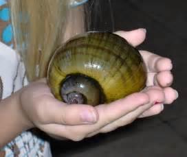 Freshwater Apple Snails