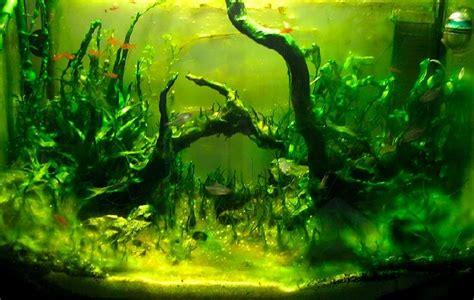 algues vertes dans aquarium les algues d eau douce aquariums de v 233 ronique