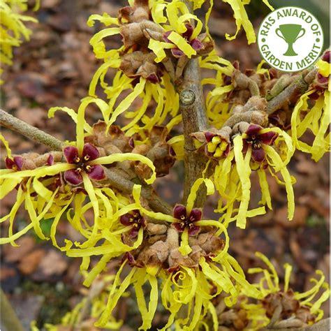 witch hazel tree varieties hamamelis intermedia pallida yellow witch hazel trees shrubs