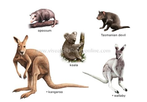 marsupials examples mammals animal marsupial types marsupiaux pouches period tertiary pouched animals species kingdom non merriam webster animaux kangaroo land