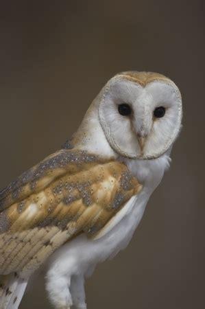 barn owl facts barn owl facts barn owl information twootz