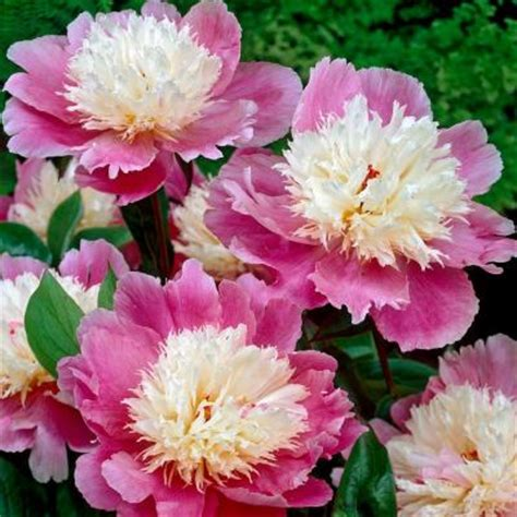 bloomsz bowl  beauty peony roots  pack