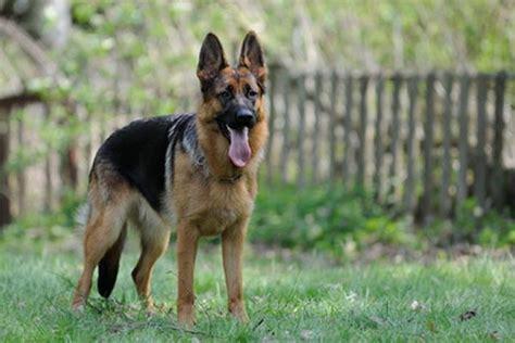 deutscher schaeferhund welpen kaufen